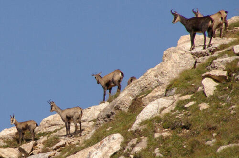 Jagd Anfang September – Jagd auf Gams, Feisthirsch und Graugans