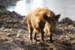 Fragen aus der Jägerprüfung zum Schwarzwild