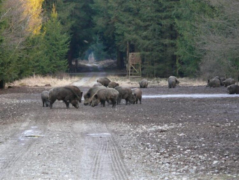 """""""Problemfall"""" Wildschwein: warum gibt es so viele von ihnen?"""