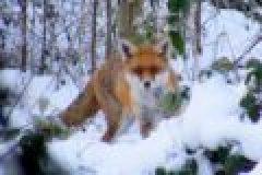 Der Fuchs – ein Portrait über den roten Freibeuter