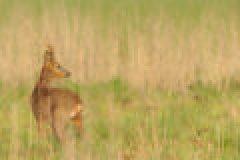 Blattjagd im Hochsommer – Wenn der Bock springt und das Jäger-Herz höher schlägt