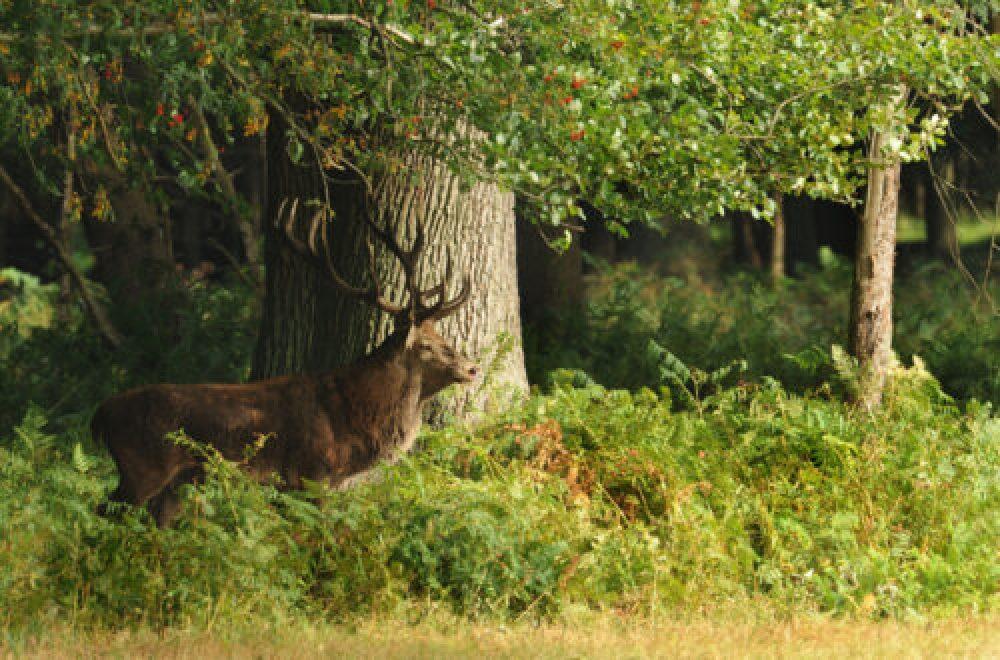 Das Jagdrevier im August – Die Jagd auf Feisthirsche