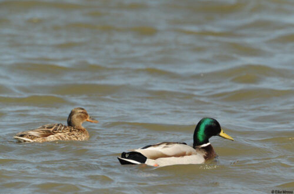 Das Jagdrevier im Oktober – Zwei Entenjagden im Vergleich