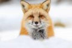 Füchse reizen – Lockjagd auf den Fuchs