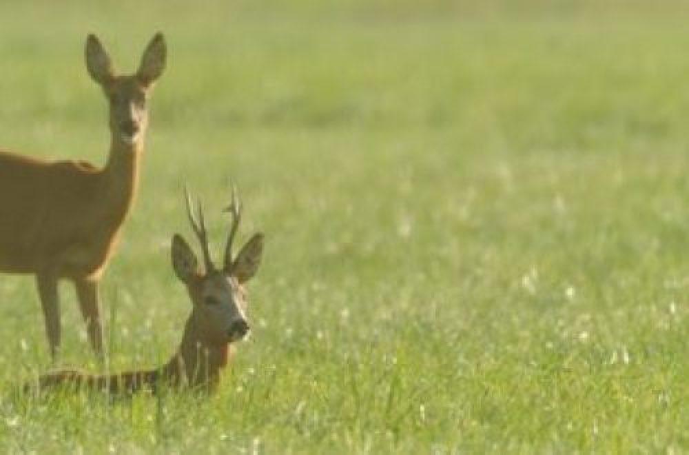 Das Jagdrevier im Juni – Jagdruhezeit und Schmaltiere