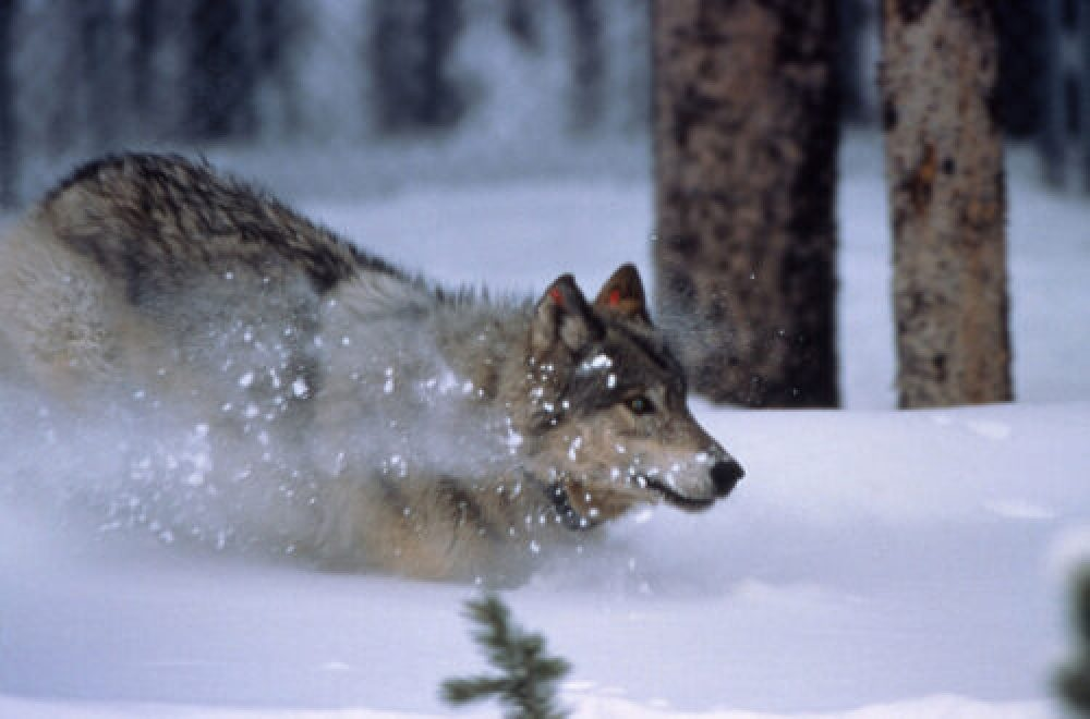 Wer hat Angst vorm bösen Wolf?