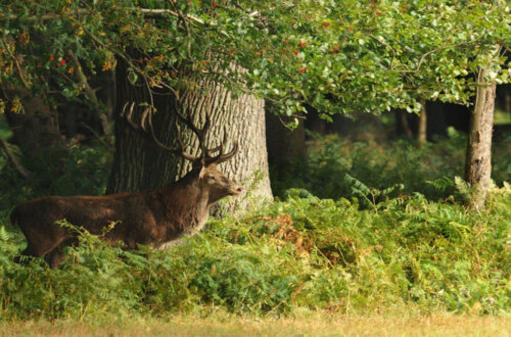 Das Jagdrevier im August – Eine Annäherung an den Feisthirsch