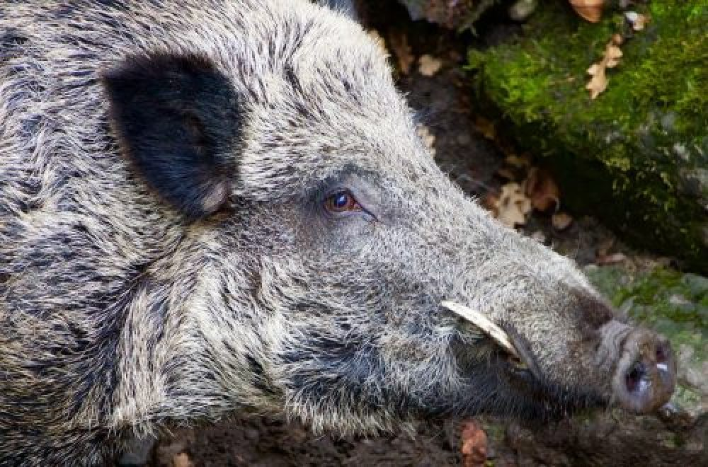 Keilerjagd in der Türkei – das besondere Jagderlebnis