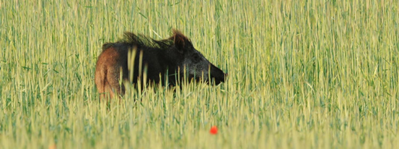Schwarzwild: Pirsch im Sommer